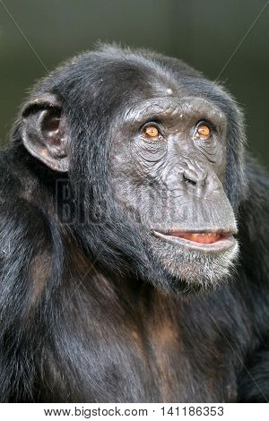 A young and strong leader Chimpanzee portrait