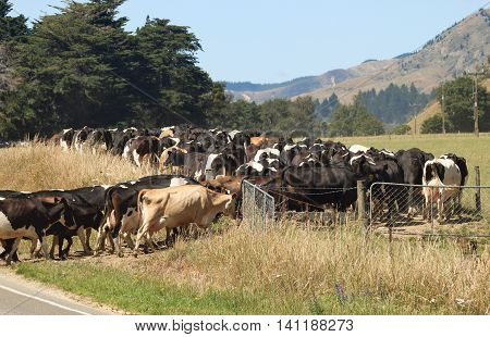 Herd of dairy and jersey cows walking into a New Zealand farm paddock