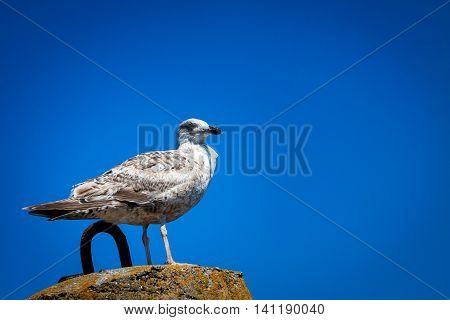 Single seagull standing on the rock breakwater in port.