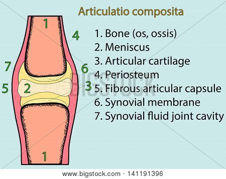 Complex joint vector. Medical poster illustration. Mobile connection of bones. Somatic system connection of bones. Anatomical atlas