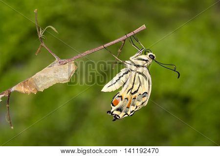 Closeup amazing moment about butterfly (Papilio machaon) emerging from chrysalis on twig on green background