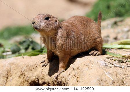 A cute prairie dog in a desert environment