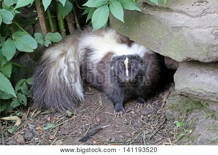 A Skunk hiding under a rock with green leaves above it