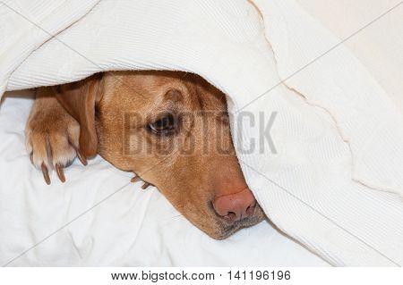 Labrador retriever hiding underneath blanket on bed