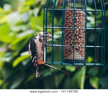 Lesser Spotted Woodpecker (dendrocopos Minor) Perched On Hanging Peanut Feeder.