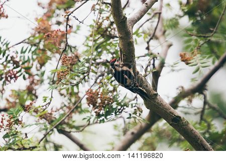 Lesser Spotted Woodpecker (dendrocopos Minor) Hanging On Branch