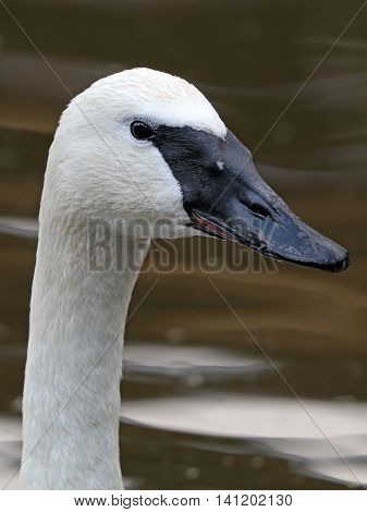 Close up of a Trumpet swan in the water