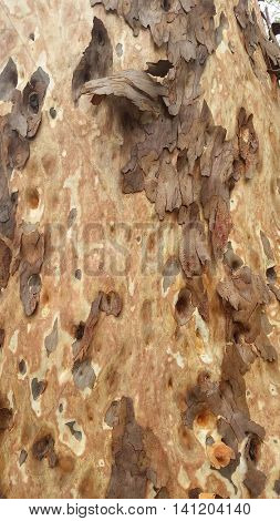 Macro Spotted Gum Tree Bark