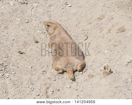 European Souslik or Ground Squirrel Spermophilus citellus lie on dry ground close-up portrait selective focus shallow DOF