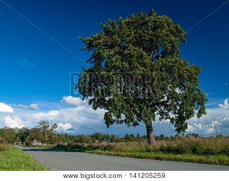 Big beautiful lone tree near the road about a flowering meadow in summer in August under a blue sky with clouds