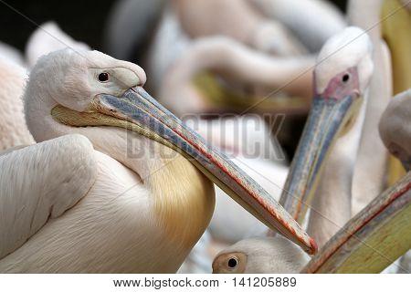 A big group of pink pelican birds