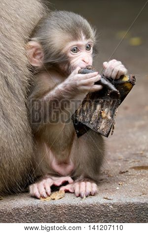 Cute Japanese monkey baby is sitting close to her mother