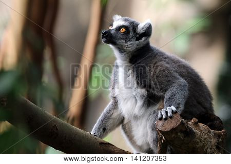 ring-tailed lemur sitting on a tree branch