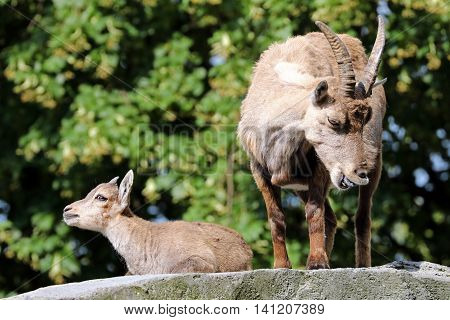 Alpine ibex mother with her child standing on a rock