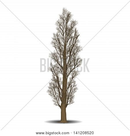 detached tree poplar without leaves on a white background