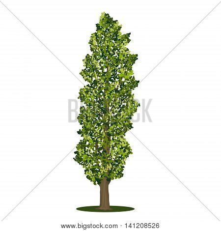detached tree poplar with green leaves on a white background