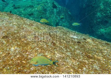School of yellow fish on the seabed of Similan Islands in Thailand. Underwater marine life in Andaman Sea.