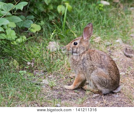 Cottontail Rabbit sitting on a footpath looking into the woods.