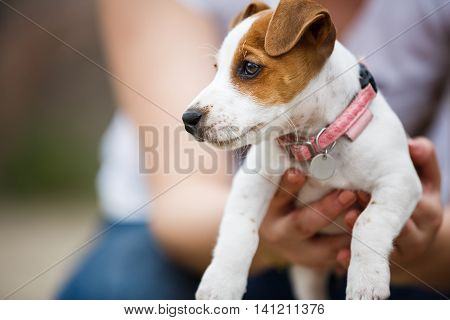 Human holding the cheerful puppy Jack Russell Terrier