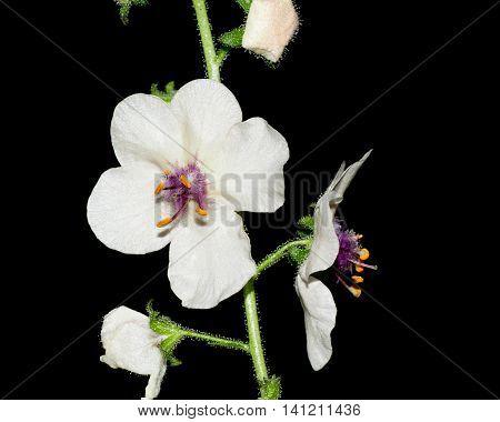 Moth Mullein wildflower blossom against a black background.