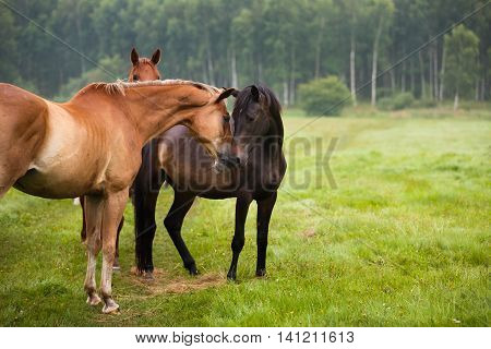 Herd of horses in a meadow summer time