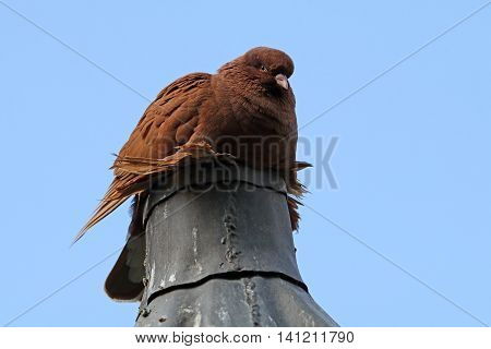Pigeon on a chimney with a clear blue sky background