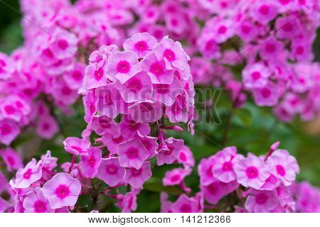 bush of flowers phloxes of pink color for the natural textured background