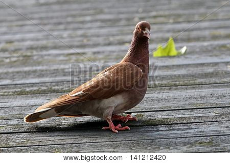 Pigeon sitting on the roof with a leaf behind it
