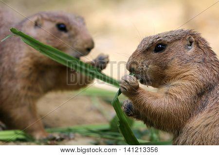 Prairie dogs are enjoying their green food