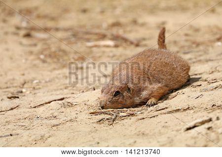 A Prairie dog lying flat in the sand