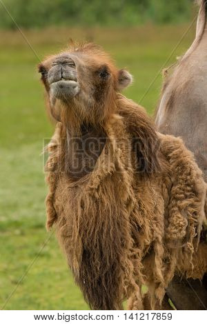 Upright vertical close up of a dromedary camel which has been moulting
