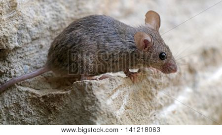 A ciute mouse on a rocky background