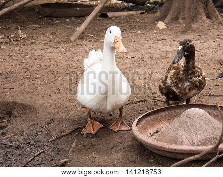 white ducks in Farm ,farm in Thailand, Farm ducks mud bath.