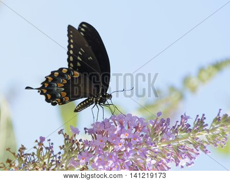 A Spicebush Swallowtail (Papilio Troilus) feeding from a cluster of Butterfly Bush flowers.