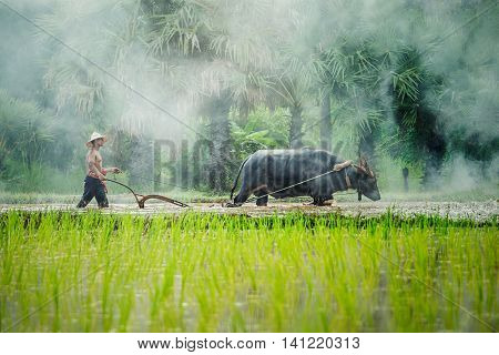 Farmers in the countryside in asia, Are plowing soil for rice cultivation with water buffalo in rainy season