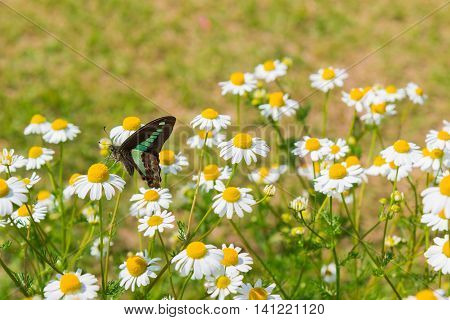 Beautiful Butterfly Seeking Nectar On Daisy Flower.