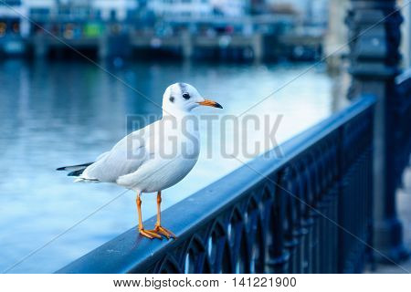 Seagull On The Bank Of The Limmat River, In Zurich