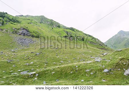 Photo of green capra peak and a field full of sheeps grazing in fagaras mountains Romania.