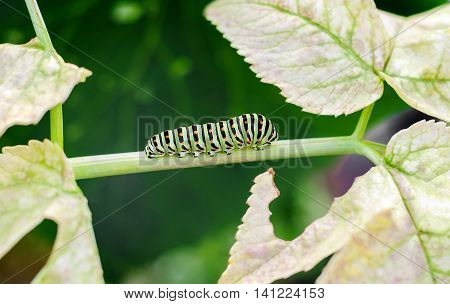 Caterpillar creeping on leaves at green background