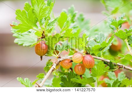 Fresh Red Gooseberries On Branches