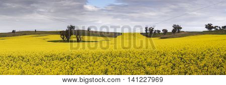 Canola/Rapeseed fields in bloom - York, Western Australia