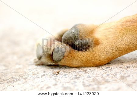 picture of a paw of an adult  staffy dog on cement background