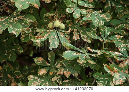 Chestnut Tree Leaves Corrupted by Cameraria Ohridella Moth