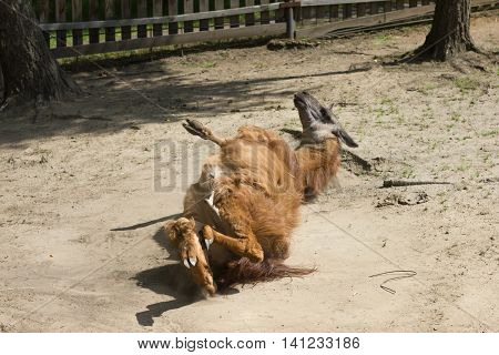 brown lama playing on ground in farm