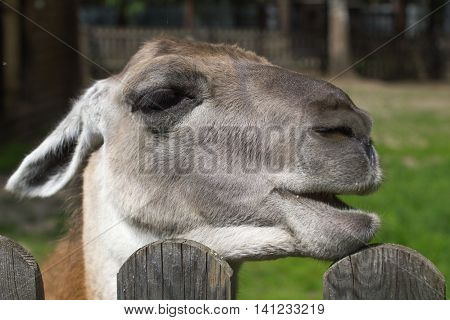funny smile lama animal face close up