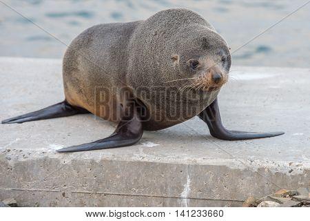 Australia Fur Seal Close Up Portrait While Growling