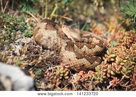 Horned viper in nature on the rocks