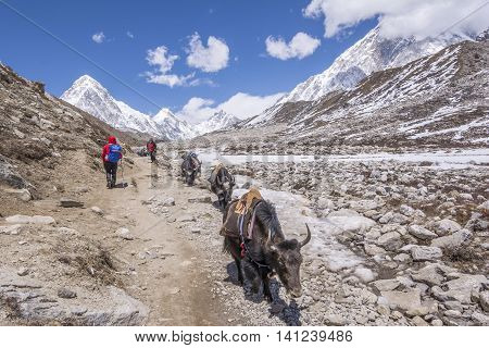 Everest Base Camp Trekking: yaks are found long the trekking.