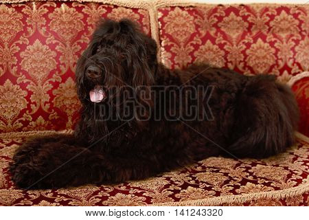 Big black dog Terrier lying tongue hanging out on the Persian sofa.