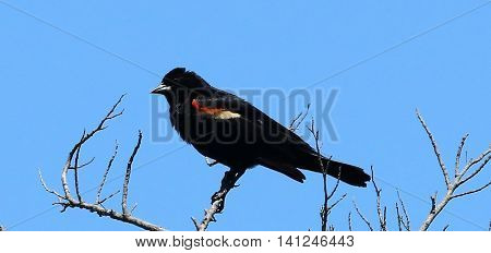 A male red winged blackbird sits up high in a tree